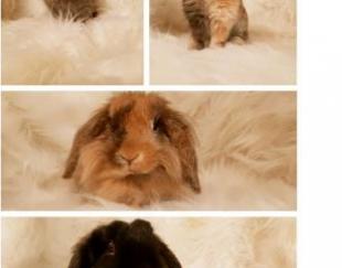 واگذاری خرگوش های لوپ هلندی اصیل