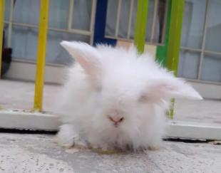 خرگوش لوپ چشم ابی ۵۰ روز