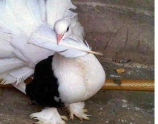 کبوتر دوم چتری عالی