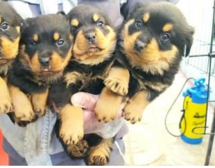 توله سگ روتوایلر-فروش توله ی روت وایلرو بالغ اصالت دار