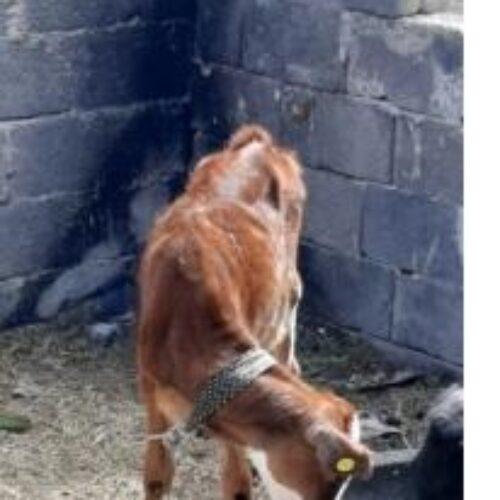فروش گاو دورگ با گوساله ماده(فوری)