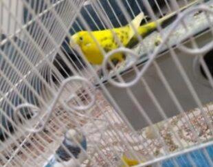 یک جفت مرغ عشق اسپانگل ودورگه بلند با جوجه 15روزه بسیار زیبا