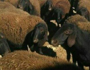 گوسفند قزل افشار و نژاد شال
