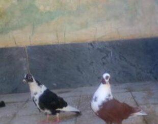 کبوتر نر مس ذات دار