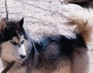 سگ هاسکییی