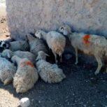فروش گوسفند داشتی بره دار