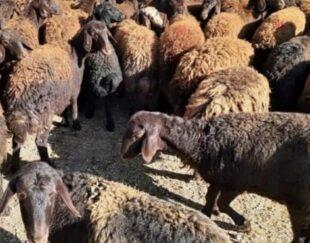 اصلاح نژاد بره شال میش قزل گوسفند