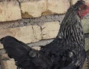 مرغ محلی اصیل در فیروزآباد