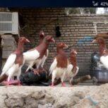 کبوتر یهودی جوان 8 عدد