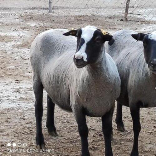 گوسفند رومانوف(رومانف)