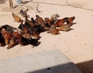 مرغ و خروس محلی عشایری
