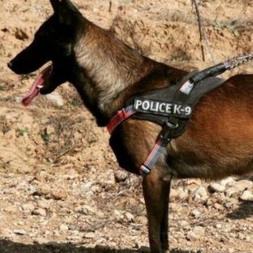 توله سگ مالینویز