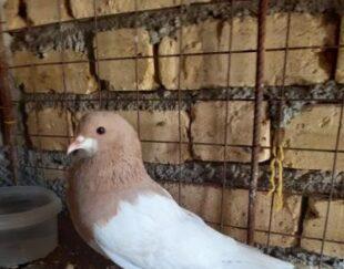 کبوتر یال زردبی نقص.نورآبادممسنی