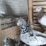 کبوتر سرور به شرط تخم و جوجه