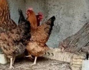 3عدد مرغ تخم گزار 2عدد دورگه 1عددمحلی اصیل