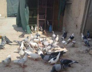 60 عدد کبوتر پلاکی هست 5 ماده بقیه نر هست