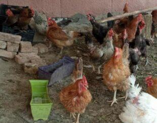 فروش مرغ محلی