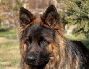 فروش سگ های ژرمن شپرد با قیمتی مناسب درهمه مدل ها