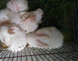 فروشی تعداد خرگوش