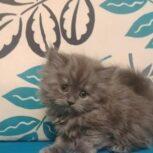 فروش بچه گربه